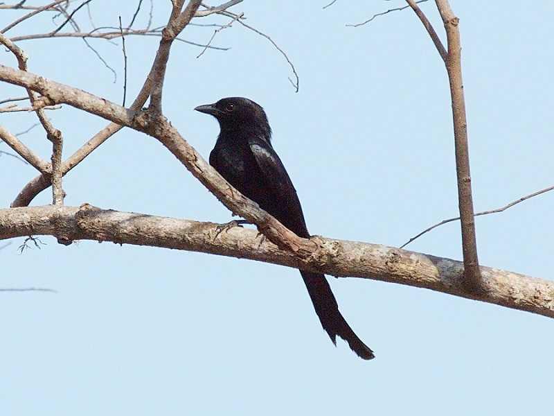 парк Барат черная иволга
