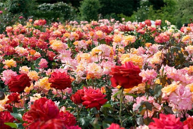 сад роз1