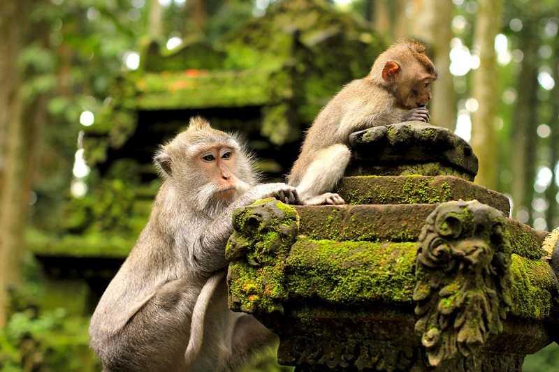 убуд Лес обезьян