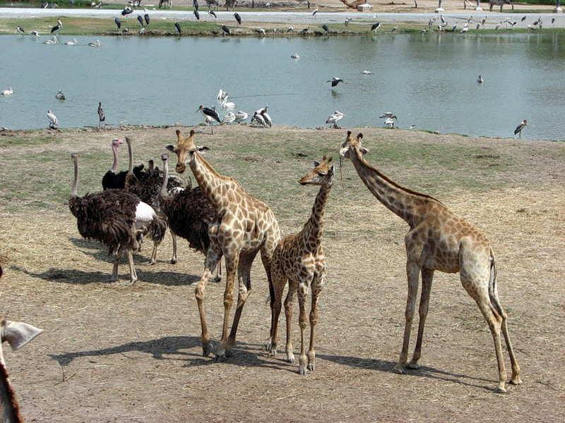сафари парк тайланд
