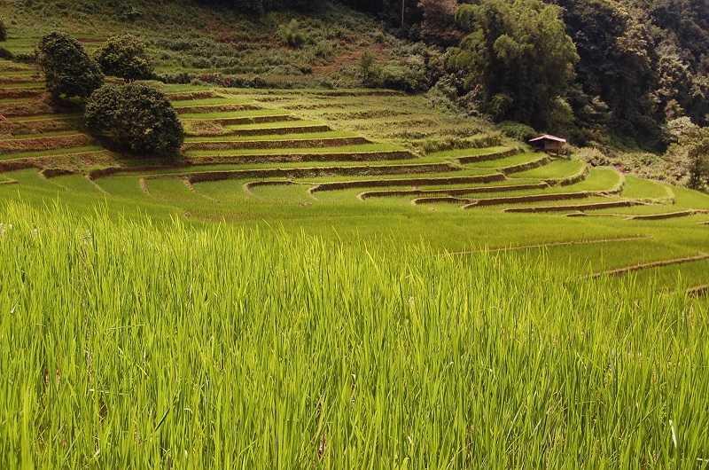 Бага плантации риса