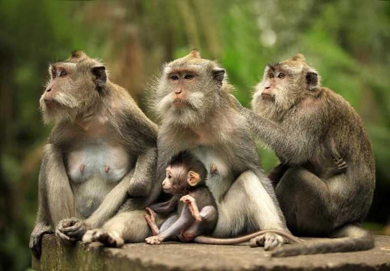 Бали Лес обезьян