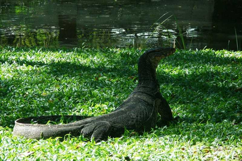 Бангкок Люмпини парк вараны