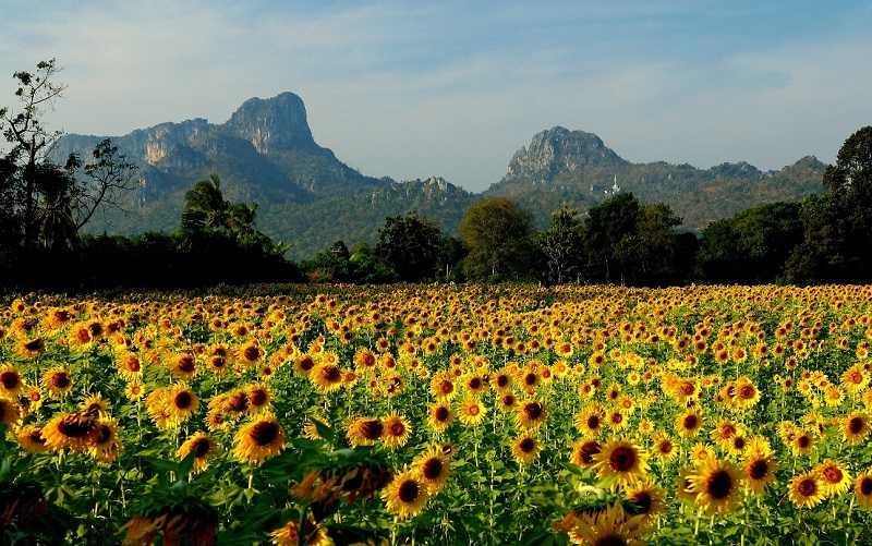 Лопбури фестиваль Lopburi Sunflower Festival