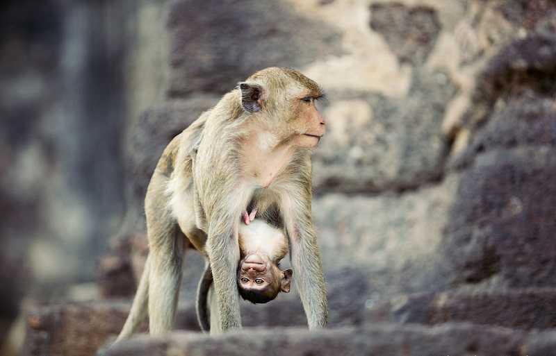 Лопбури обезьяны1