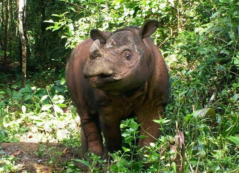Национальный парк Уджунг Кулон яванский носорог