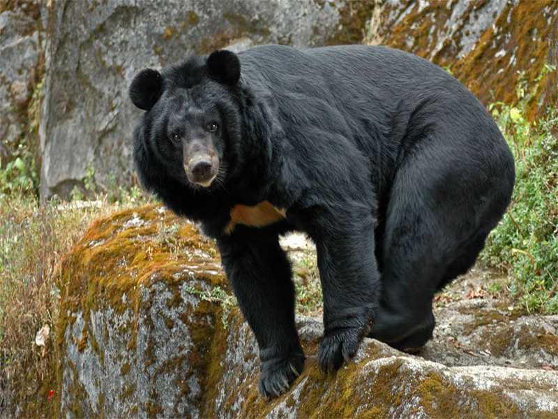 Нячанг водопад Янг Бей черные азиатские медведи