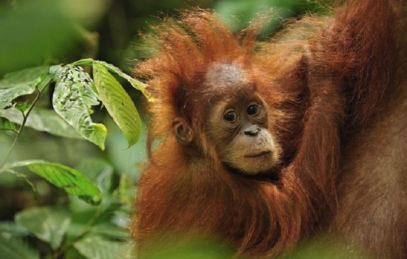 Остров Суматра заповедник Бохорок