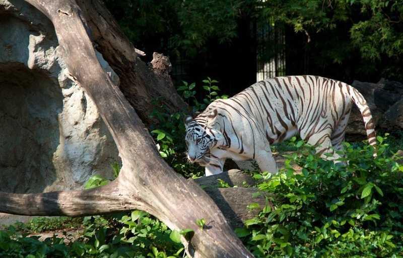 Зоопарк Дусит в Бангкоке бенгальские тигры-альбиносы