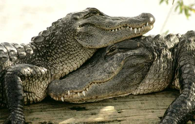 Зоопарки Паттайи Кхао Кхео крокодиловая ферма