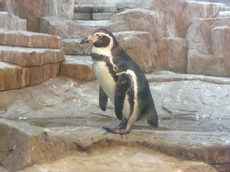 Зоопарки Паттайи Кхао Кхео пингвины