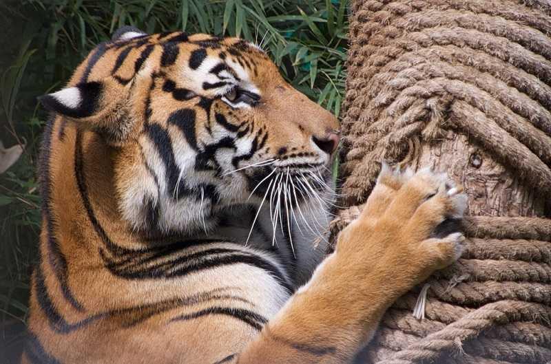 Зоопарки Паттайи Кхао Кхео тигровый зоопарк