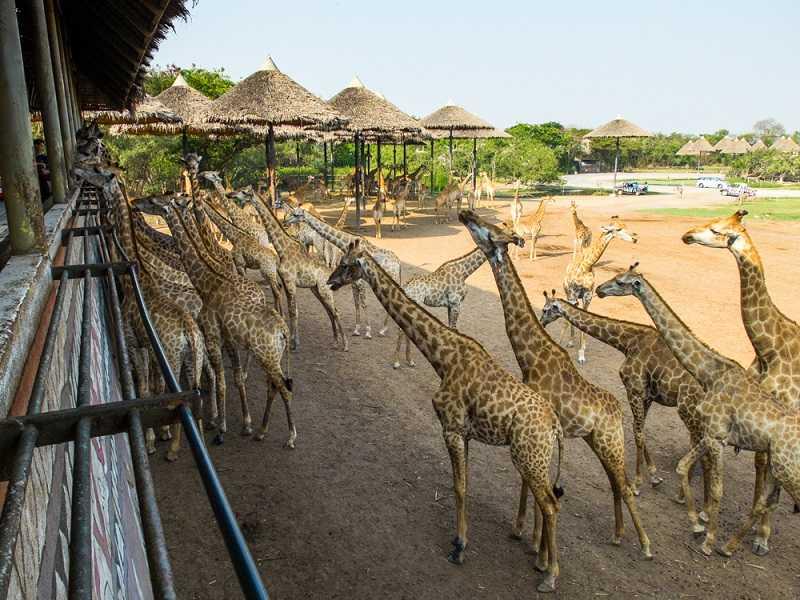сафари парк в бангкоке терраса жирафов
