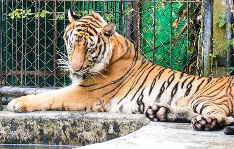 зоопарк на пхукете тигры
